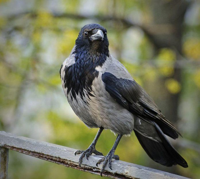 Siva vrana