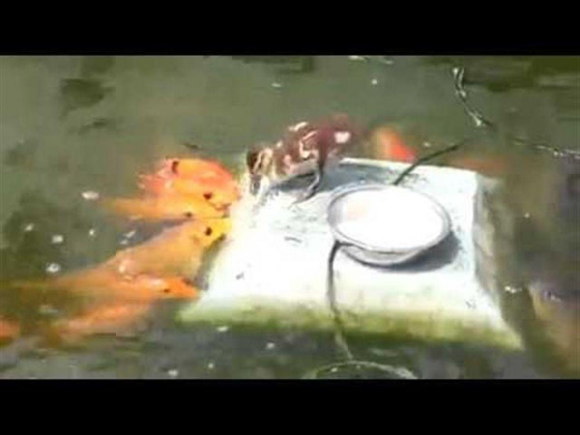 Patka hrani ribe