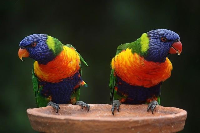 Papagaj Boje