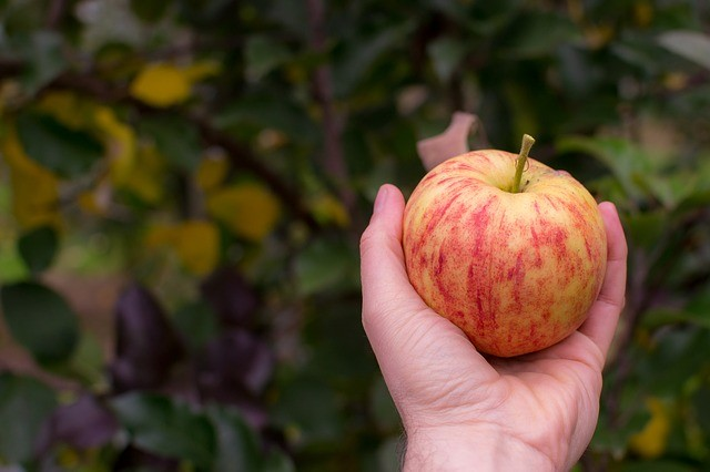 Branje voća